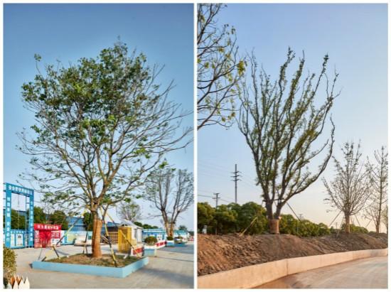 无锡万达城酒店群大树种植工作提前完成