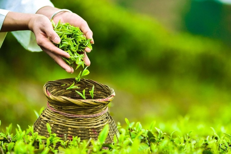 【新华网】宅家抗疫也可扶贫 认一亩茶园助一户丹寨农家